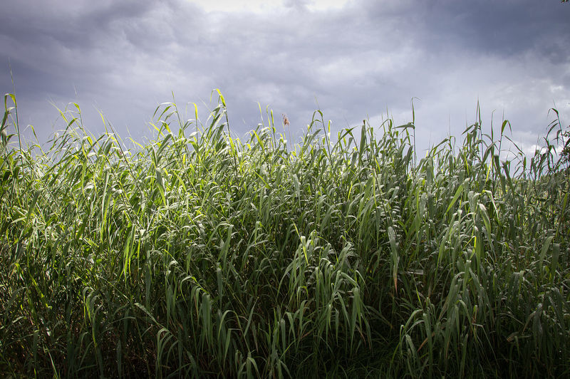 Common Reed Dramatic Sky Latvia Motivation Nature Phragmites Australis Sky And Clouds Background Before The Storm Clouds Landscape Perennial Grass Sky Breathing Space Perspectives On Nature The Great Outdoors - 2018 EyeEm Awards