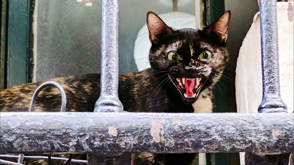 Cat Portrait Madrid,spain