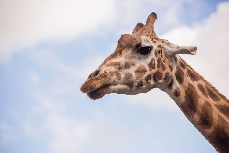 The head of a giraffe against a blue sky Animal Animal Body Part Animal Head  Animal Markings Animal Neck Animal Themes Animal Wildlife Animals In The Wild Cloud - Sky Day Domestic Animals Giraffe Herbivorous Low Angle View Mammal Nature No People One Animal Outdoors Profile View Safari Sky Vertebrate