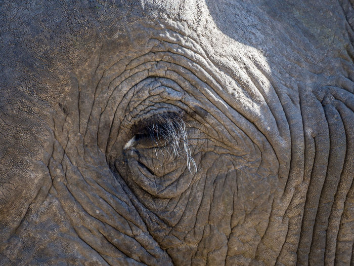 Close-up of face and eye of african elephant, moremi game reserve, botswana