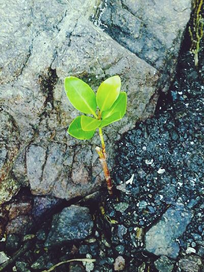 🌎 Happy Earth Day! Leaf Growth Young Plant Plant Green Color Nature Day High Angle View Fragility Outdoors No People New Life Close-up Beauty In Nature Freshness Earth Day 2k17 Mangrove Life Nature EyeEm Nature Lover