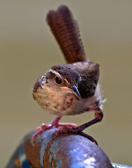 House Wren Animal Animal Body Part Animal Head  Animal Themes Animal Wildlife Animals In The Wild Beauty In Nature Bird Close-up Day Focus On Foreground Looking Nature No People One Animal Outdoors Perching Selective Focus Vertebrate Zoology