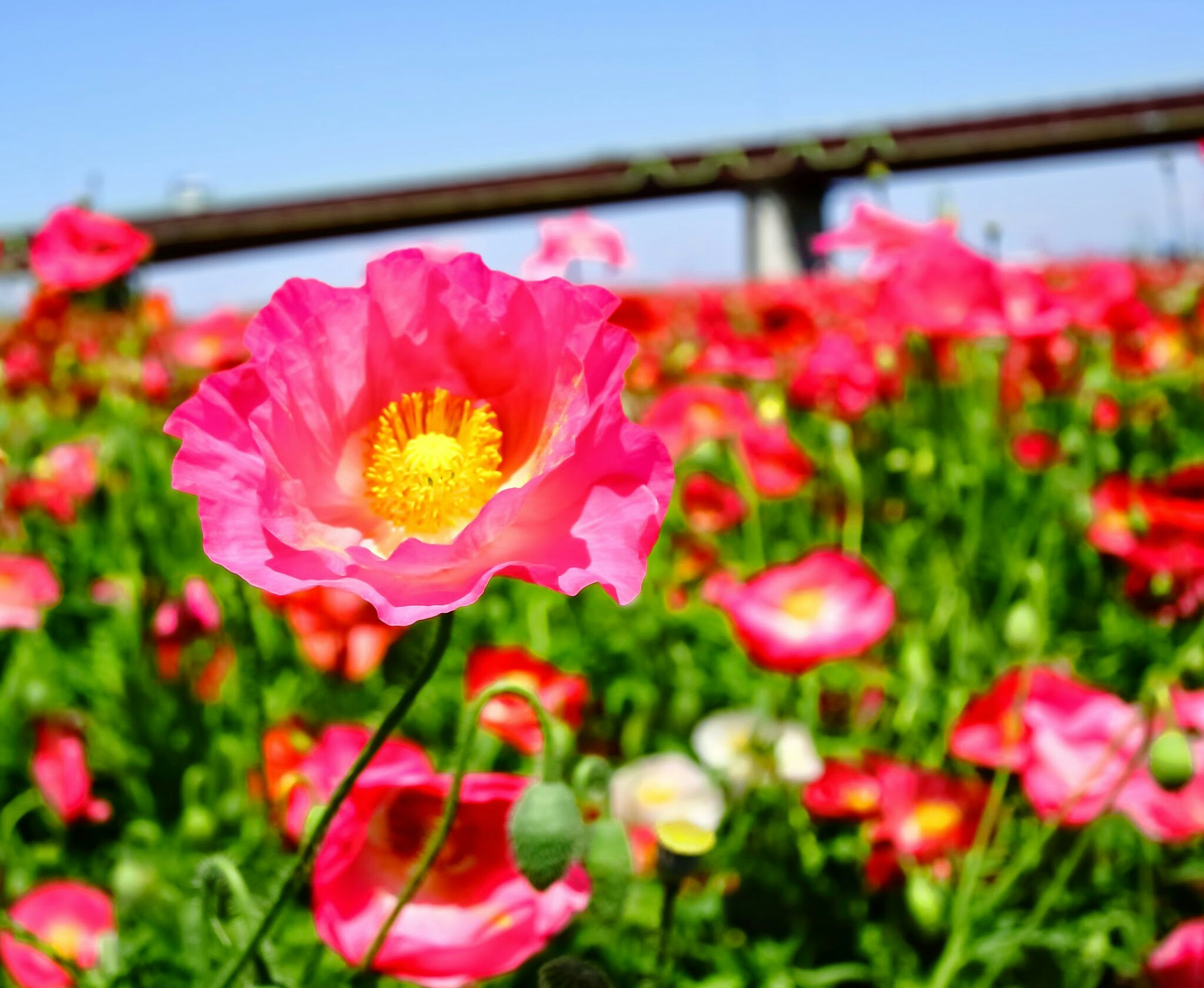 flower, freshness, petal, fragility, flower head, growth, beauty in nature, blooming, pink color, focus on foreground, nature, close-up, plant, in bloom, clear sky, blossom, red, stem, day, pink