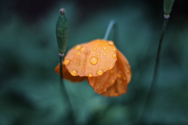 Close-up of raindrops on orange leaf