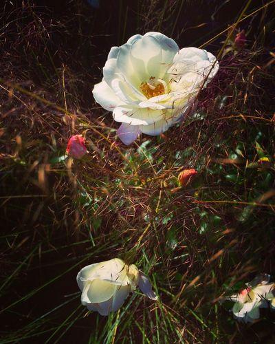 Secret garden Rose - Flower Garden
