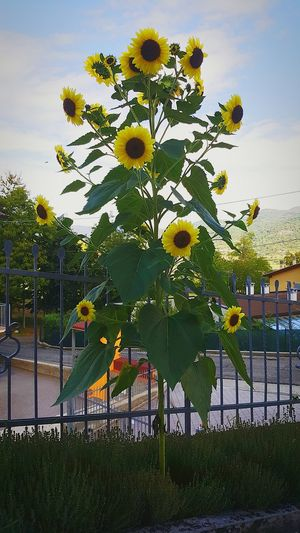 Sunflower Sunflowers🌻 Sunflowerlovers Plant Sky Cloud - Sky Nature Outdoors Garden Springtime No People Field Sunflower Photography Yellow Flowers Plants 🌱 Tranquility Plant Sky Cloud - Sky Growth Railing Fence Park - Man Made Space Day Cloud