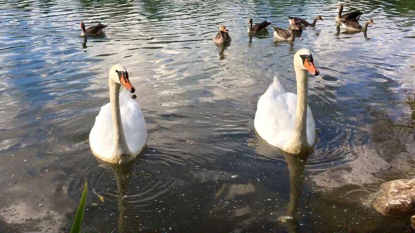 Wildgänse Gänse Gans Schwan  Schwäne Swan Swans Swantastic Swans ❤ Schwanenfamilie