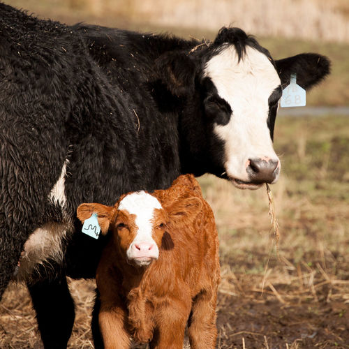 Cow and calf on field