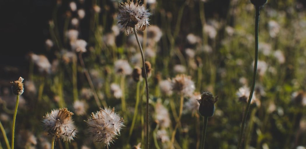EyeEm Selects Plant Flower Flowering Plant Fragility Beauty In Nature Vulnerability  Focus On Foreground Nature Growth Close-up Freshness Plant Stem No People Flower Head Field Day Outdoors Land Tranquility Dry