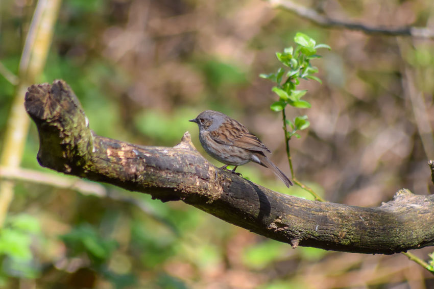 Dunnock Llanelli Wetland Centre Animal Animal Themes Animal Wildlife Animals In The Wild Beauty In Nature Bird Branch Close-up Day Focus On Foreground Green Color Lichen Llanelli Nature No People One Animal Outdoors Perching Plant Selective Focus Tree Vertebrate