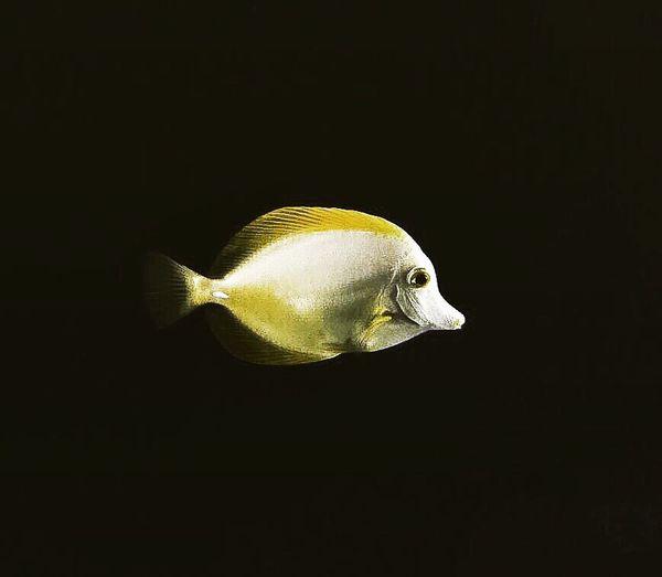 Fish underwater against black background