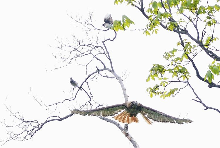 A red tailed hawk has had enough harassment from a couple of blue jays A Hawk Being Chased Away By A Few Blue Jays Animal Animal Themes Birds In Conflict Blue Jays Defending Their Territory Branch Flying Nature No People Perching Tree Wildlife