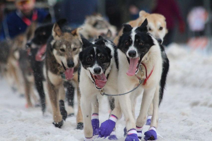 Purple Booties - Iditarod 2016 Animals Dog Dog Race Dog Racing Dog Running Dogs Dogs Dogs Dogs Iditarod