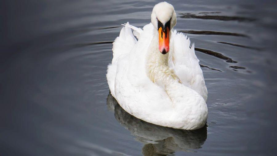 swan November
