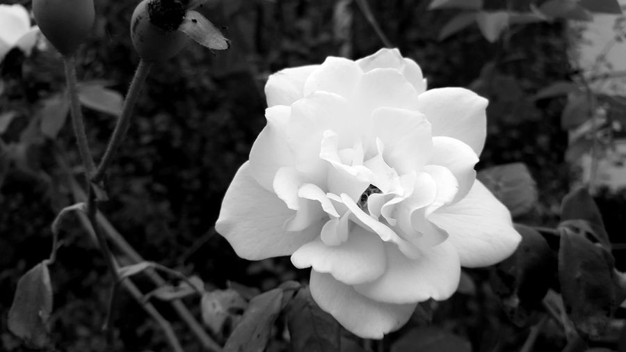 Rosé White Rose Black And White Photography Blackandwhite Photography Plants In The Suburbs Nature In The Suburbs Walking Around