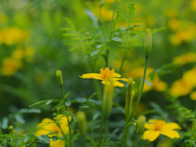 Another version ☺️ Selective Focus Yellow Flowers Yellow Flower Flowers, Nature And Beauty Flowers Flower Flower Photography Flowers,Plants & Garden Flowerphotography Selective Focusing Selectivefocus Shallow Depth Of Field Gren Grass