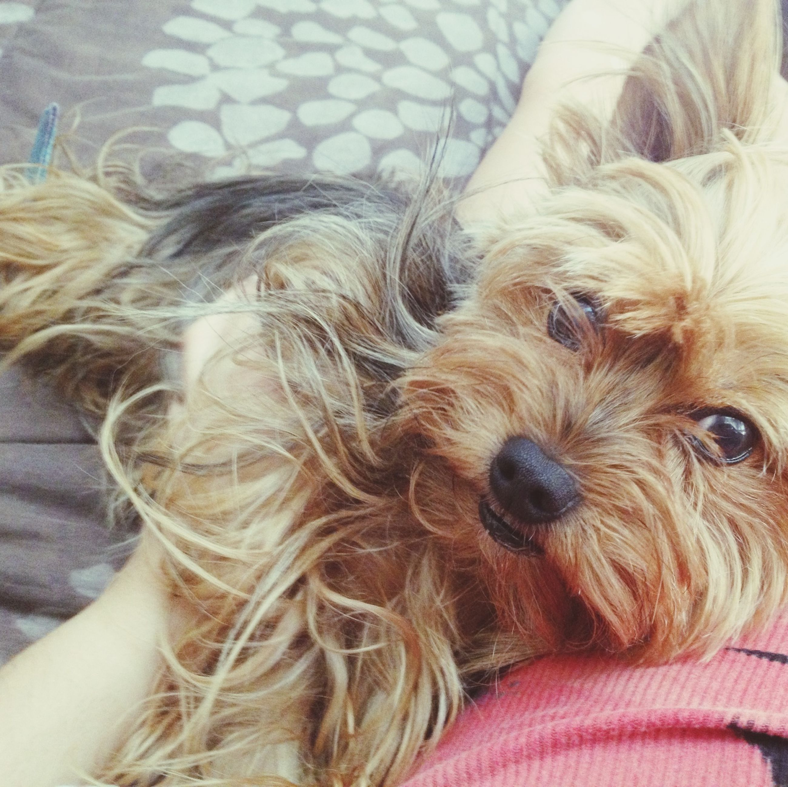 domestic animals, pets, dog, indoors, mammal, one animal, animal themes, animal hair, close-up, relaxation, resting, high angle view, lying down, home interior, part of, animal head, bed, animal body part, no people, cropped
