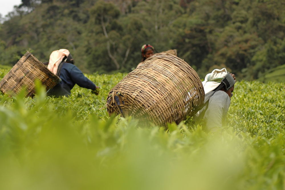 Tea Picker Agriculture Sri Lanka Sri Lanka Travel Sri Lanka 🇱🇰 Taking Photos Tea Tea Flower Teaflower Teaflowers Agricultural Land Agriculture Photography Cylon Day Nature Outdoors Picker Picking Plantage Plantation Sri Lankan Tea Picker Tea Pickers Tea Plantation  Teapicking Teaplantations