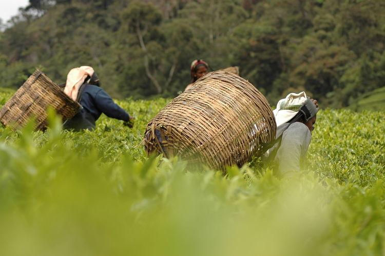 Tea Picker Agriculture Sri Lanka Sri Lanka Travel Sri Lanka 🇱🇰 Taking Photos Tea Tea Flower Teaflower Teaflowers Agricultural Land Agriculture Photography Cylon Day Nature Outdoors Picker Picking Plantage Plantation Sri Lankan Tea Picker Tea Pickers Tea Plantation  Teapicking Teaplantations