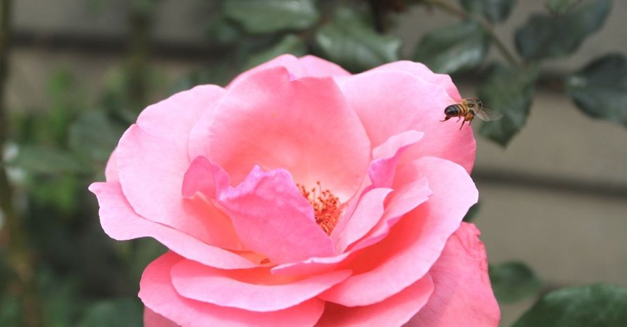 Shine Golden Centre In Flight Pink Blush Pollen Collector Rose - Flower Save The Bees The Honey Bee