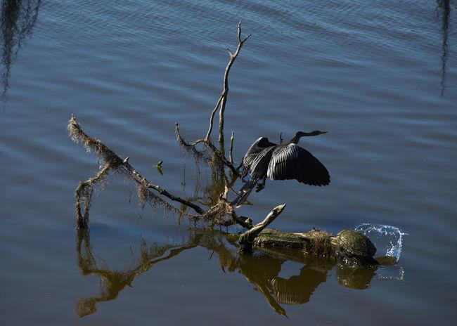 Anhinga Anhinga Anhinga Bird Animal Themes Animal Wildlife Animals In The Wild Bird Day Lake Nature No People One Animal Outdoors Reflection Spread Wings Turtle Water