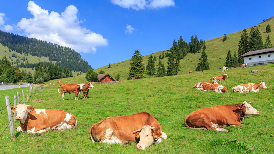 Alm Alps Animal Animals Bavaria Bayern Germany Cloud - Sky Cows Domestic Animals Grass Green Color Kuh Kühe Landscape Livestock Mammal Mountain Mountains Nature No People Relax Sky Tree Weide Wendelstein
