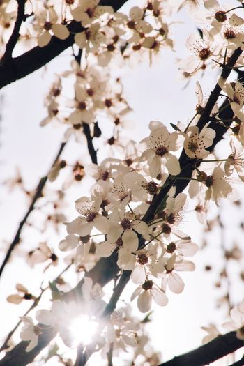 Plant Tree Flowering Plant Flower Growth Blossom Beauty In Nature No People White Color Low Angle View Freshness Vulnerability  Close-up Focus On Foreground Nature Day Sky Springtime Fragility Branch