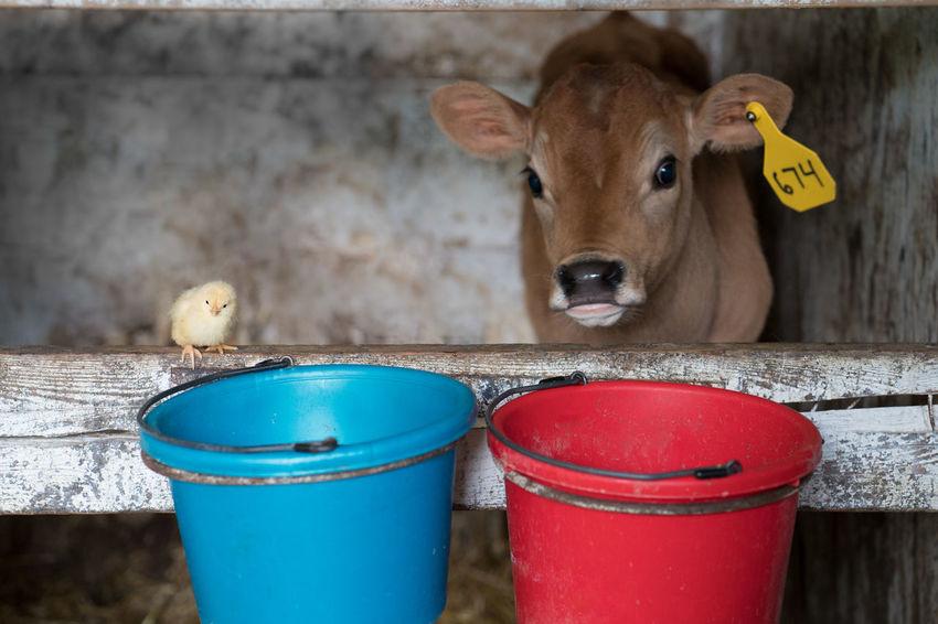 Animal Pairs Animal Themes Baby Chick Calf Domestic Animals Livestock No People No People, Two Animals