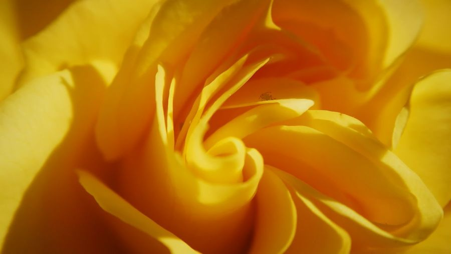Macro shot of yellow rose flower