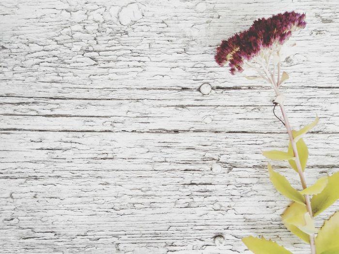 Plant Flower Nature No People Fragility Sedum Spectabile White Backgroud Autumn Flowers Wood Background Negative Space