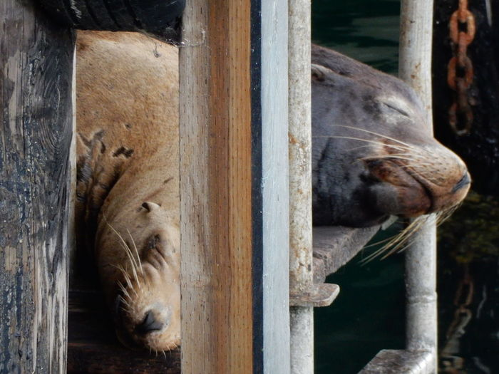 Seals resting on wooden plank