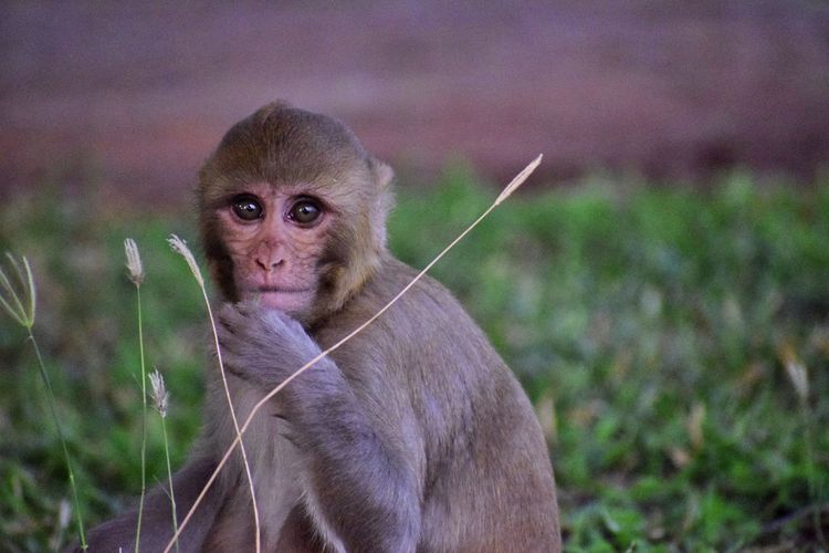 Portrait of a monkey in a green grass garden.