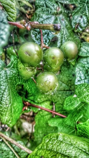 Wild grapes along my fence Hello World Enjoying Life Thingsthatmakemesmile InTheGarden Richwood Texas Rain Drops Wild Grapes 2016 Iseetheworldinhdr Streamzoo Family EyeEm Nature Lover Hdr_gallery Green Grapes Texas Raindrops