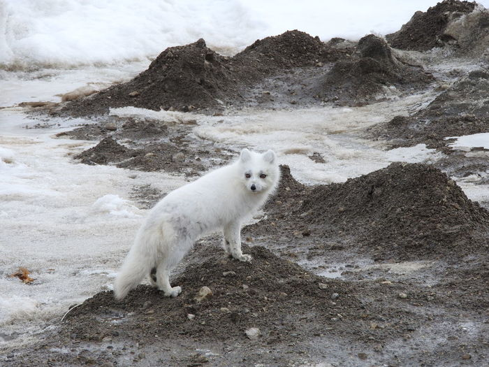 Arctic fox on sand at beach during winter