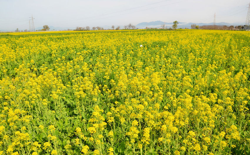 Field flowers yellow. Abundance Agriculture Beauty In Nature Blooming Crop  Farm Field Flower Fragility Freshness Growth Landscape Nature Oilseed Rape Plant Rural Scene Scenics Tranquil Scene Tranquility Yellow