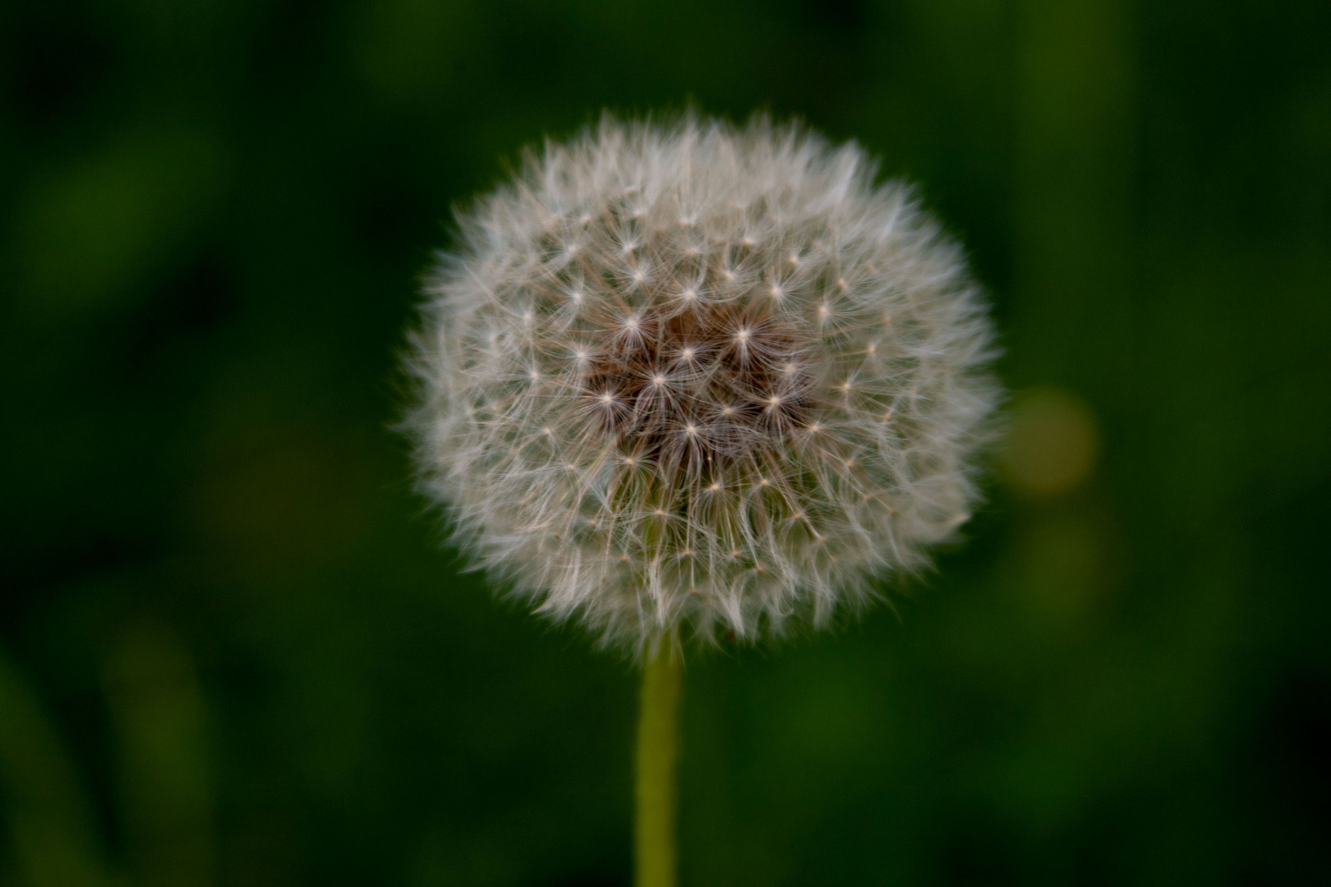 plant, dandelion, freshness, vulnerability, flower, beauty in nature, close-up, fragility, flowering plant, growth, inflorescence, flower head, no people, focus on foreground, nature, softness, dandelion seed, day, plant stem, outdoors