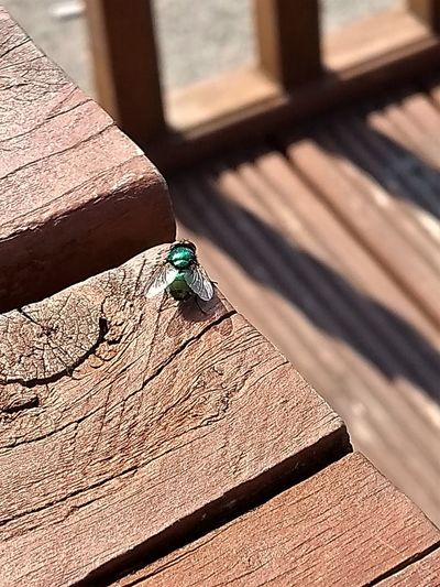 Common Green Bottle (Blowfly) on a stained wood picnic table in the beer garden of a local pub / bar. Blowfly Fly Animal Animal Themes Animal Wildlife Animals In The Wild Architecture Bird Brown Built Structure Close-up Day Greenbottle High Angle View Insect Invertebrate Nature No People One Animal Outdoors Shadow Sunlight Vertebrate Wood - Material