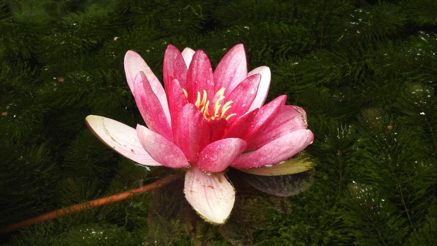 Pink Water Lily in Pond Pink Color Water Lilly, Pond, Flower, Water Lilly Plant Flower Growth Flowering Plant Freshness Beauty In Nature Pink Color Petal Vulnerability  Close-up Inflorescence Water Nature No People High Angle View Pollen Outdoors