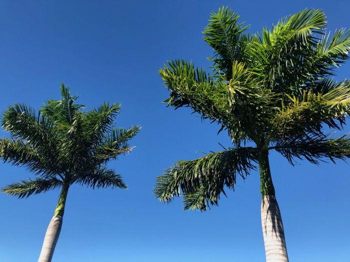 palm trees at a tropical beach in the Florida. Close-up Florida Beach Peace Tropical Climate Palm Tree Blue Lush Foliage Tropical Tree Outdoors Green Color Palm Leaf Directly Below Coconut Palm Tree Tall - High No People Low Angle View Beauty In Nature Coastline Remote Remote Location In A Row Clear Sky Copy Space Space For Text