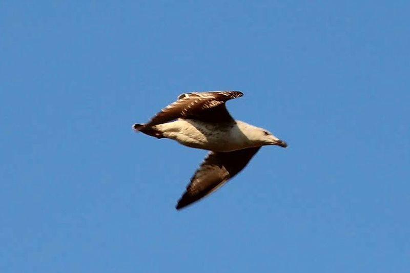 Bird flying against clear blue sky