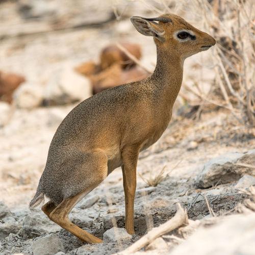 Damara Dik-Dik in Namibia Africa African Animal Animals Animals In The Wild Antelope Arid Arid Landscape Beauty In Nature Damara Damara Dik-Dik Desert Dik Dik Dik-dik Kirk's Dik-dik Namibia Namibian Small Tranquility Wild Wildlife