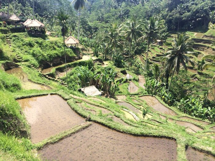 Rice Terraces Nature Peaceful View The Purist (no Edit, No Filter)