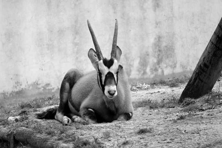 Animal Photography Animal Themes Animal_collection Animals Black & White Black And White Blackandwhite Blackandwhite Photography Bnw Eye4photography  EyeEm Best Shots EyeEmBestPics From My Point Of View Minimal Minimalism Minimalobsession EyeEm Gallery Taking Photos at Jardim Zoológico De Lisboa Portugal