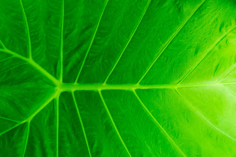 Abstract Abstract Backgrounds Backgrounds Beauty In Nature Botany Close-up Extreme Close-up Freshness Full Frame Green Color Growth Leaf Leaf Vein Leaves Macro Natural Pattern Nature No People Outdoors Palm Leaf Pattern Plant Plant Part Softness Textured