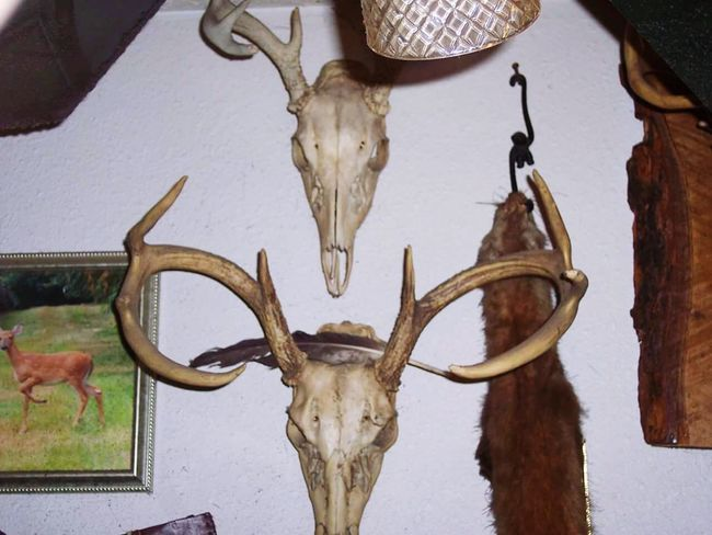 Animal Body Part Animal Head  Animal Skull Taxidermy Antler Close-up Animal Bone Horned Deer Animal Themes No People Antique Wow That's So Cool !!