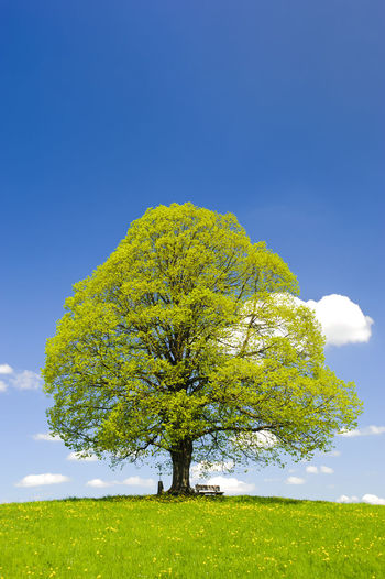 beautiful single linden tree at spring in meadow Allgäuer Alpen Deciduous Tree Freshness Green Pasture Beauty In Nature Fresh Grass Landscape Linden Linden Tree Meadow Nature No People Outdoors Pollen Remote Single Tree Sky Spring Springtime Tranquil Scene Tranquility Tree Tree Top