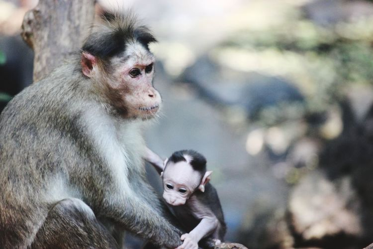 Monkey sitting outdoors with ththe new born baby