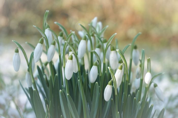 Early Spring Beauty In Nature Blooming Bokeh Close-up Day Flowers Freshness Green Color Growth Nature No People Outdoors Plant Snow Snowdrop Snowdrops Sony A6000 Springtime