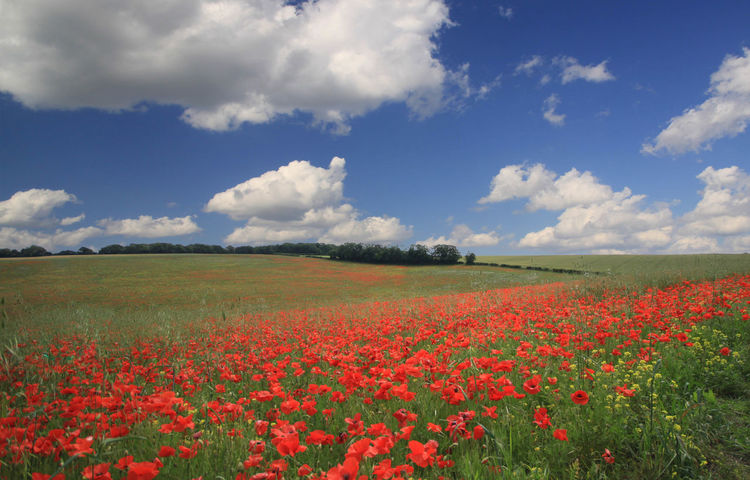 Poppy Field Kent Agriculture Blue Clouds Crops Farningham Field Green Kent Landscape Landscape_Collection Landscape_photography Landscapes Poppies  Poppies Field Poppy Red Sky