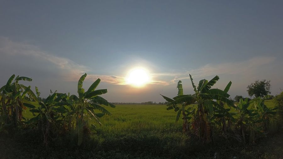 Plants growing on field against sky during sunset